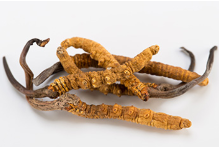 """Why? """"Cordyceps"""" are so rare and expensive"""